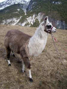 ...and one of my 'colleagues' in Seefeld. Every week we would take our guests llama trekking from Austria over the border into Germany.